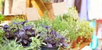 własne zioła w ogrodzie