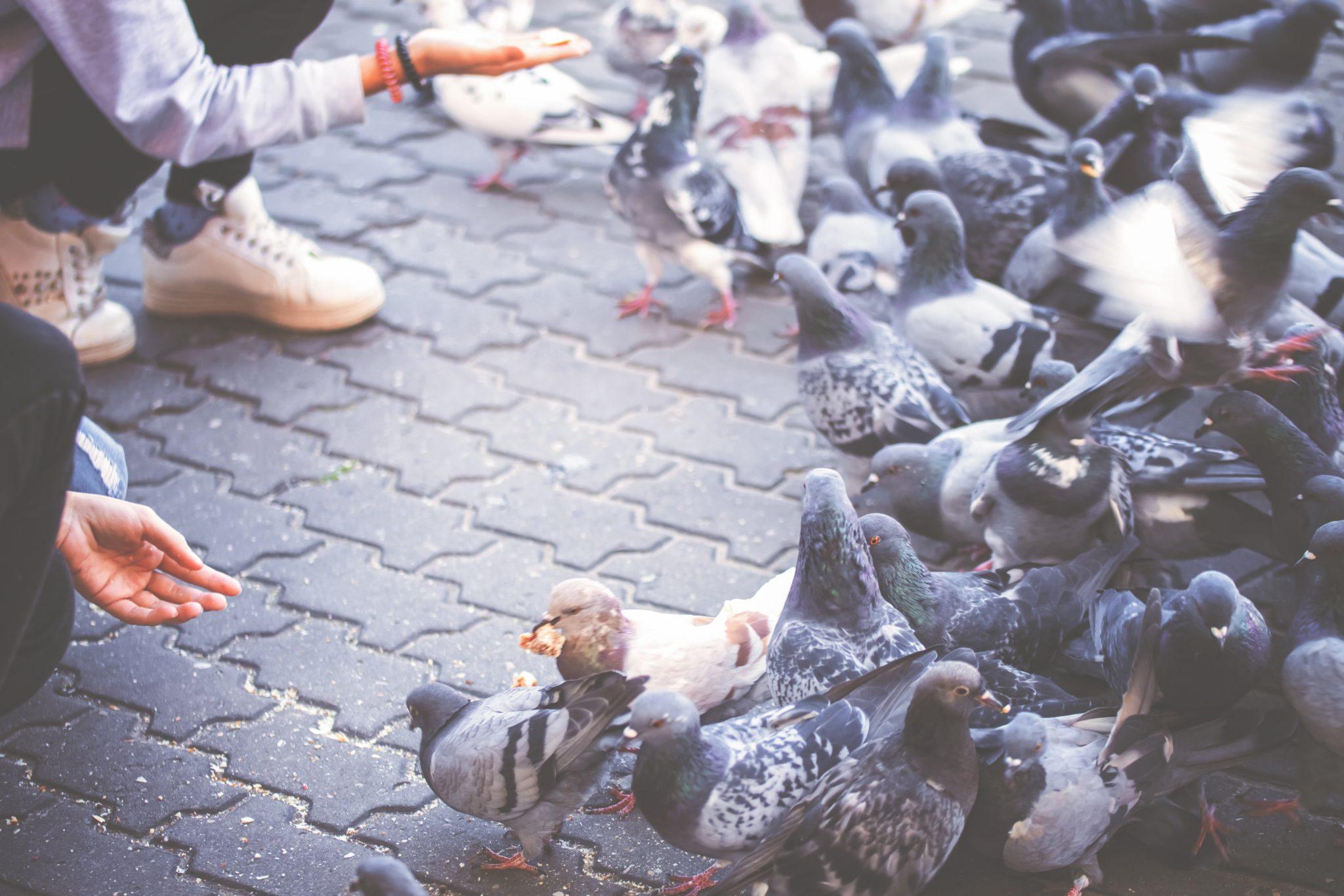 Dokarmianie gołębi zimą
