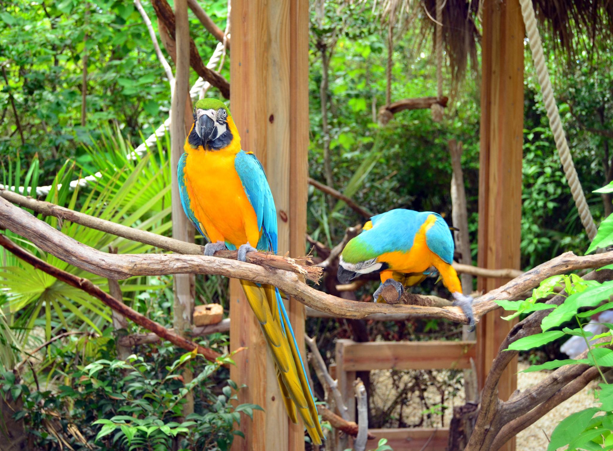papugi na Jamajce