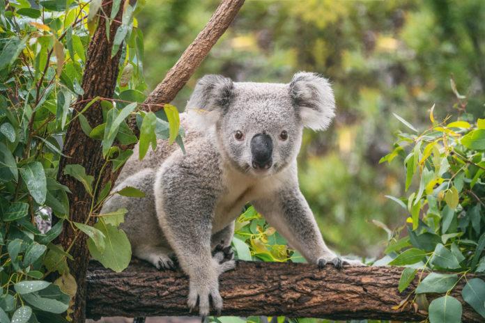 koala na eukaliptusie