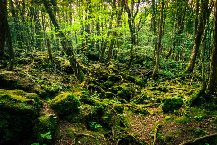 Aokigahara, Japonia las samobójców
