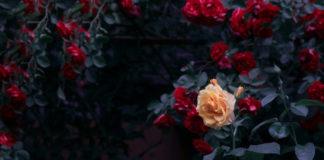kwitnące róże tajemniczy ogród