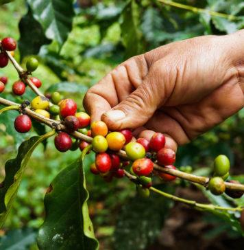 zbieranie kawy organicznej