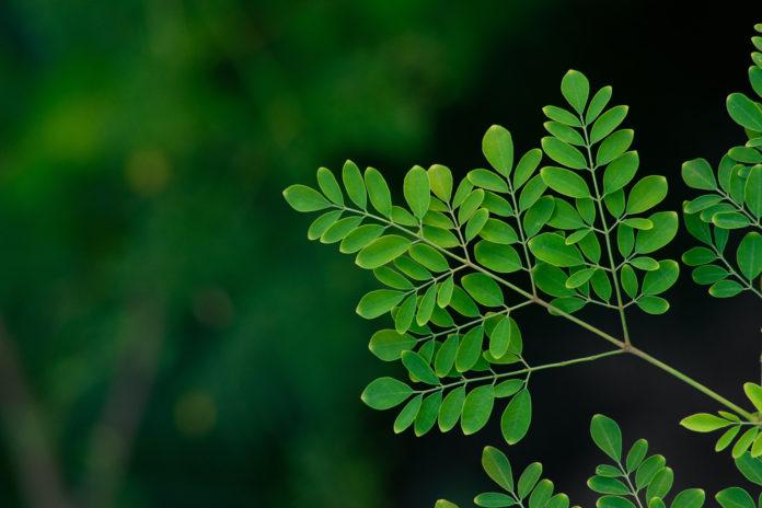 moringa gałązka drzewa