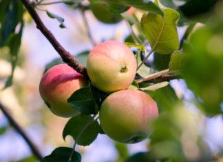jabłka na jabłoni