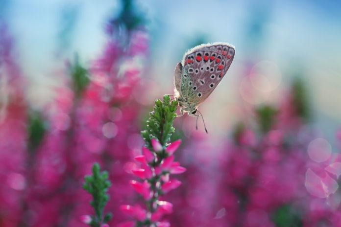 Motyl na wrzosie