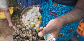 mopane caterpillar Mopani