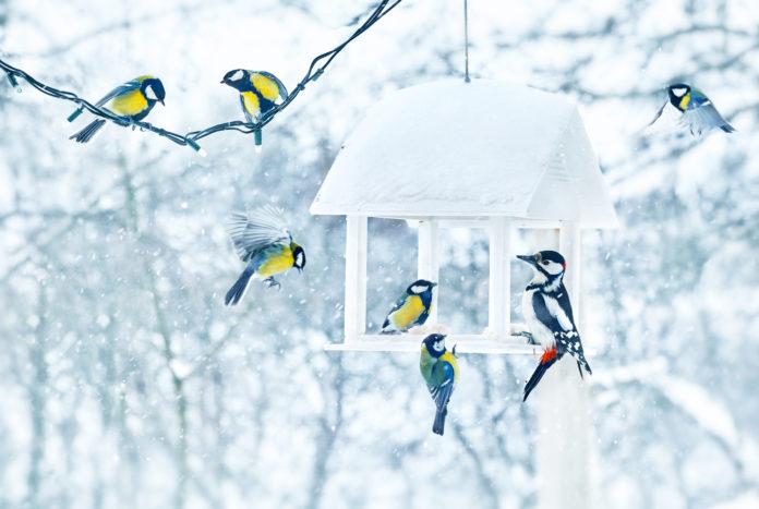 sikorki i dzięcioł w karmniku zimą