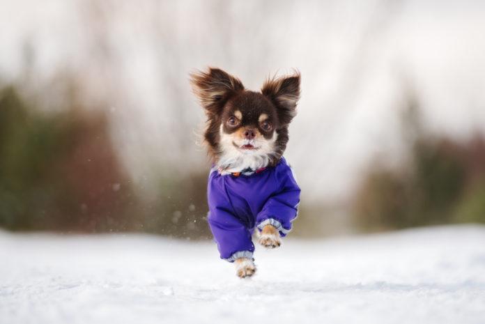 chihuahua w zimowym ubranku na zewnątrz