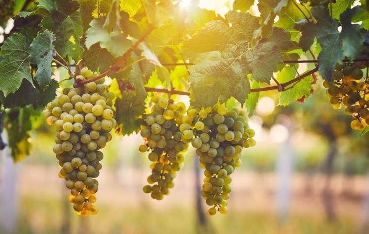 grona jasnych winogron