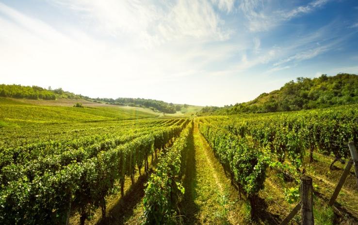 uprawa winogrona