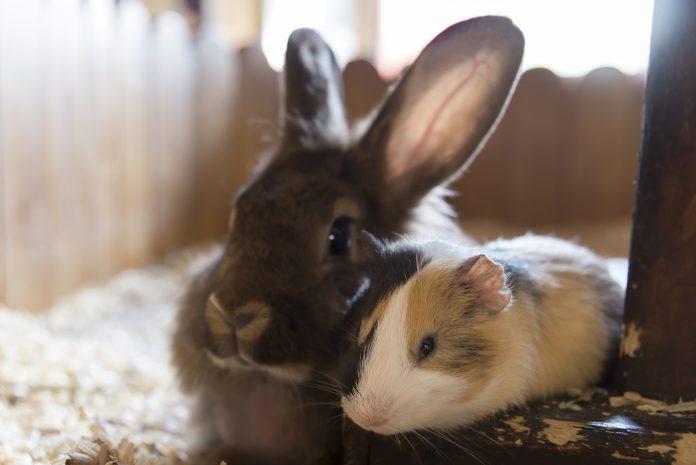królik i kawia domowa