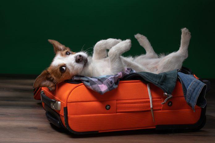 pies leżący na walizce